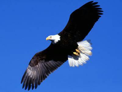 Eagle For Tim
